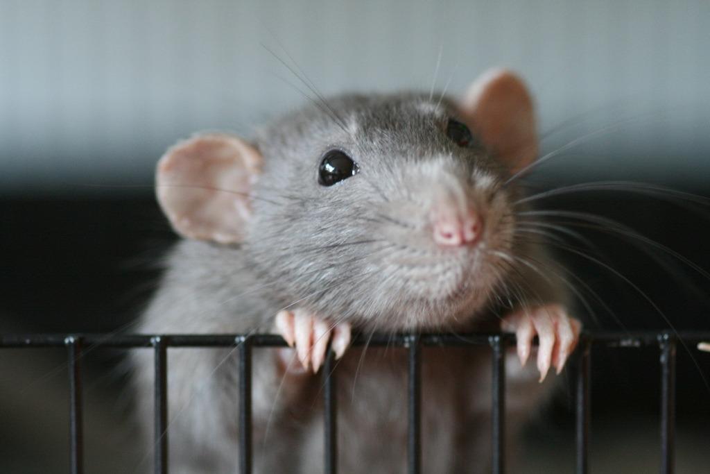 rato-sesciência-animal-sente-dor-testes-em-animais
