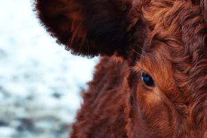 Veganismo - olhamos para o animal e ele nos olha de volta